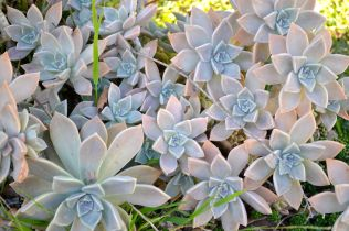 Echeveria with weeds